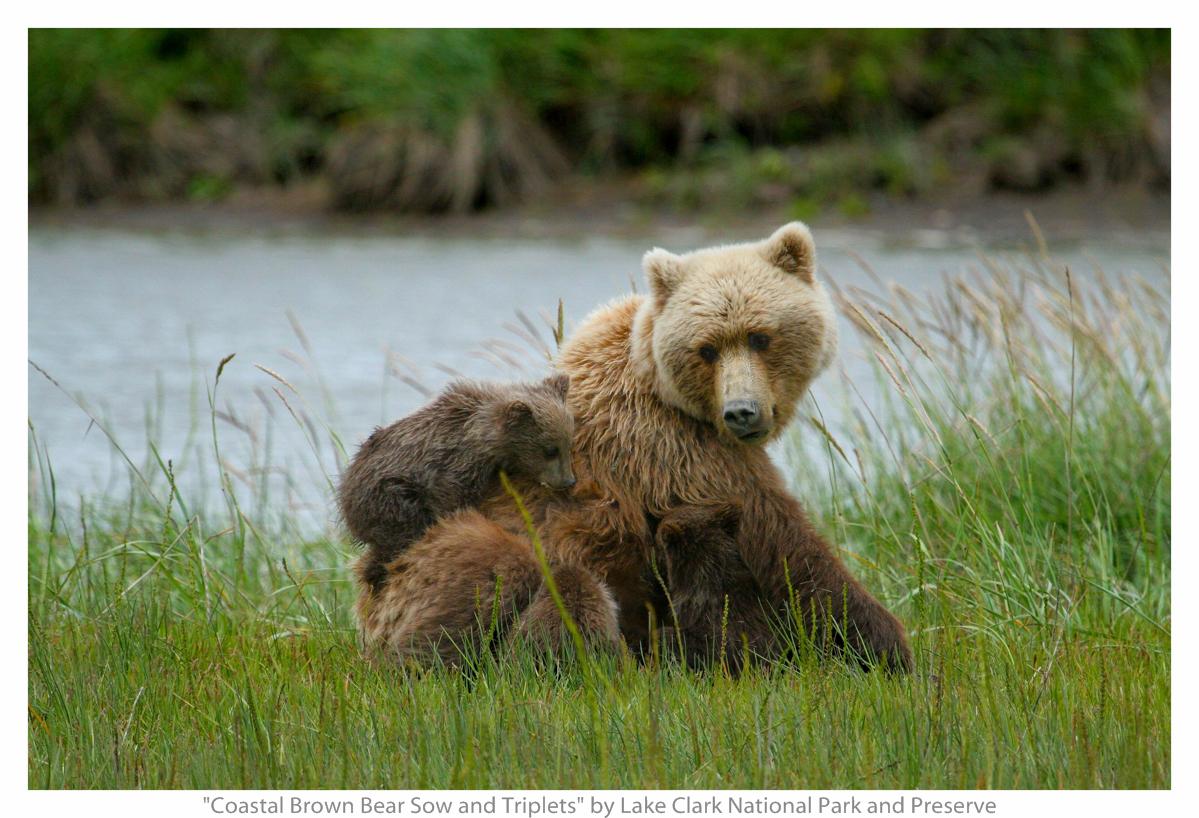 Mamma orsa gioca con il suo cucciolo in mezzo ad un prato al limitare della foresta